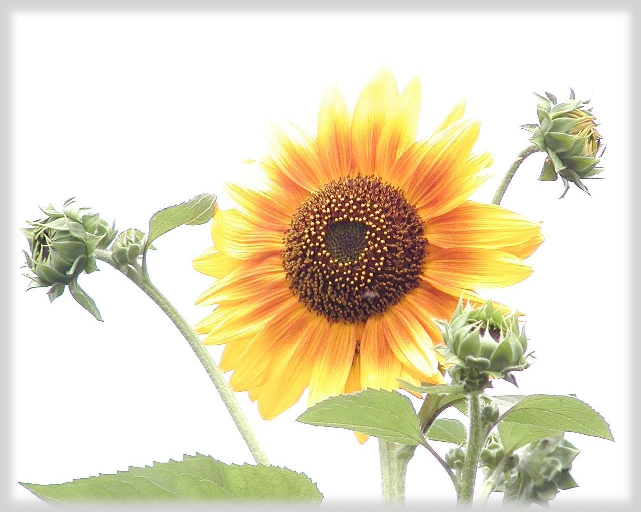 向日葵・Sunflower.